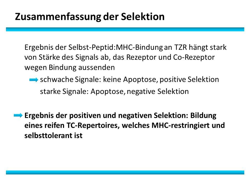 Zusammenfassung der Selektion Ergebnis der Selbst-Peptid:MHC-Bindung an TZR hängt stark von Stärke des Signals ab, das Rezeptor und Co-Rezeptor wegen Bindung aussenden schwache Signale: keine Apoptose, positive Selektion starke Signale: Apoptose, negative Selektion Ergebnis der positiven und negativen Selektion: Bildung eines reifen TC-Repertoires, welches MHC-restringiert und selbsttolerant ist