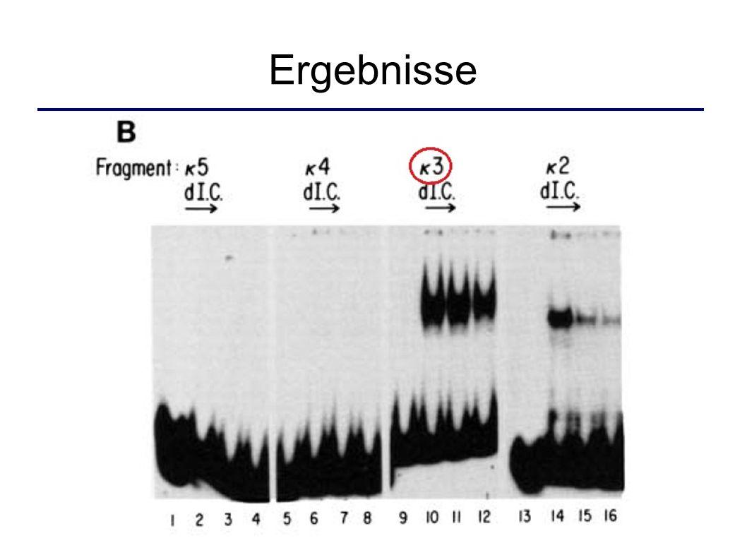 Identifizieren des k-Enhancers NF-kB: nuclear factor kappa B