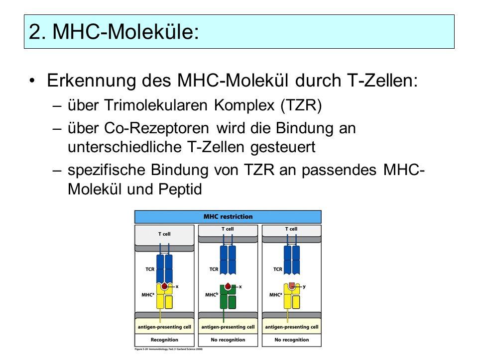 2. MHC-Moleküle: Erkennung des MHC-Molekül durch T-Zellen: –über Trimolekularen Komplex (TZR) –über Co-Rezeptoren wird die Bindung an unterschiedliche