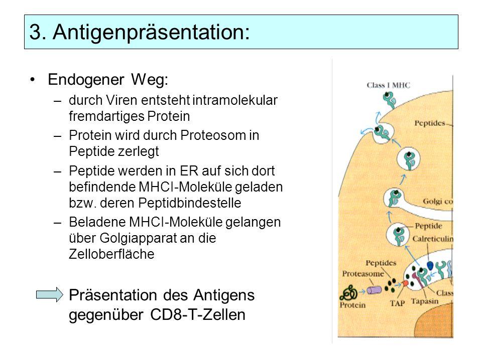 3. Antigenpräsentation: Endogener Weg: –durch Viren entsteht intramolekular fremdartiges Protein –Protein wird durch Proteosom in Peptide zerlegt –Pep