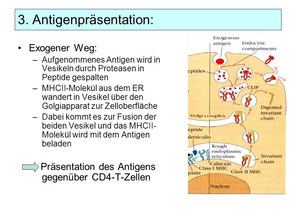 3. Antigenpräsentation: Exogener Weg: –Aufgenommenes Antigen wird in Vesikeln durch Proteasen in Peptide gespalten –MHCII-Molekül aus dem ER wandert i