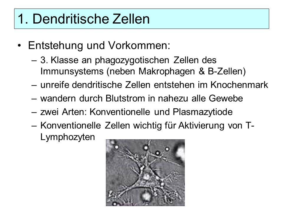 1. Dendritische Zellen Entstehung und Vorkommen: –3. Klasse an phagozygotischen Zellen des Immunsystems (neben Makrophagen & B-Zellen) –unreife dendri