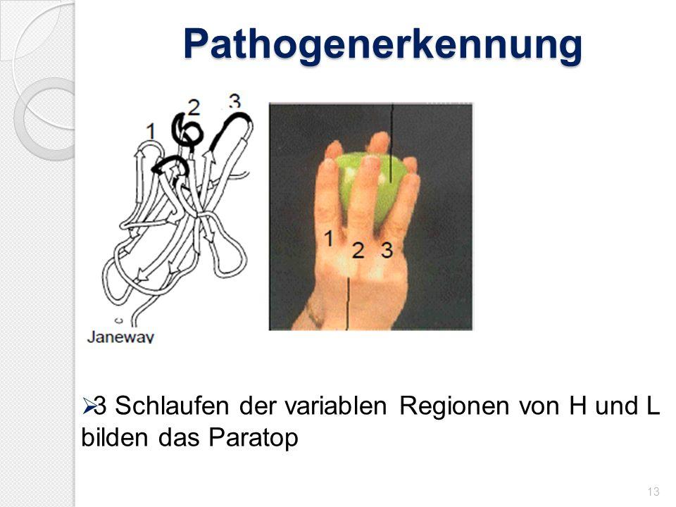 Pathogenerkennung 13 3 Schlaufen der variablen Regionen von H und L bilden das Paratop