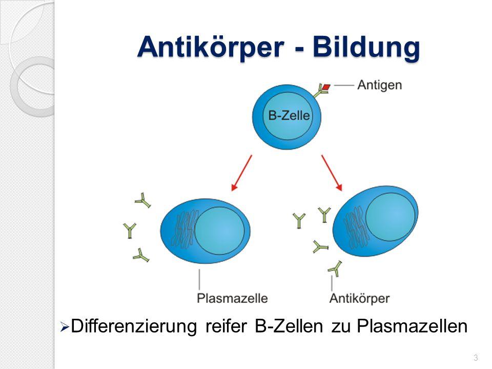 Antikörper - Bildung 3 Differenzierung reifer B-Zellen zu Plasmazellen