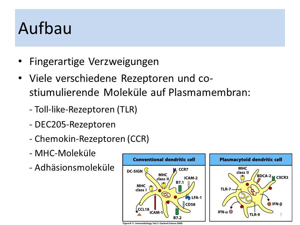Aufbau Fingerartige Verzweigungen Viele verschiedene Rezeptoren und co- stiumulierende Moleküle auf Plasmamembran: - Toll-like-Rezeptoren (TLR) - DEC2