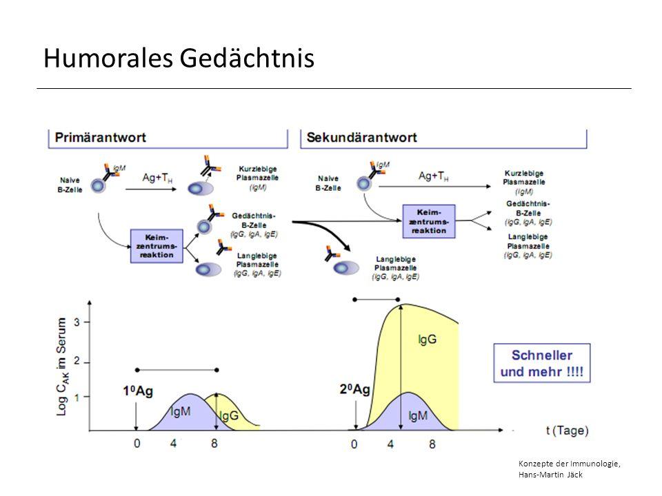 Zusammenfassung I.T-Zell-unabhängige B-Zellaktivierung Keine T-Zell-Hilfe Antigene: Polysaccharide, Lipopolysaccharide, Antigene mit repetitiven Epitopen Kein immunologisches Gedächtnis I.T-Zell-abhängige B-Zellaktivierung T-Zell-Hilfe benötigt Antigene: Proteine mit monomeren Epitopen Immunologisches Gedächtnis, Affinitätsreifung, Klassenwechsel I.Humorales Gedächtnis B-Gedächtniszellen Schnellere und effizientere Immunreaktion