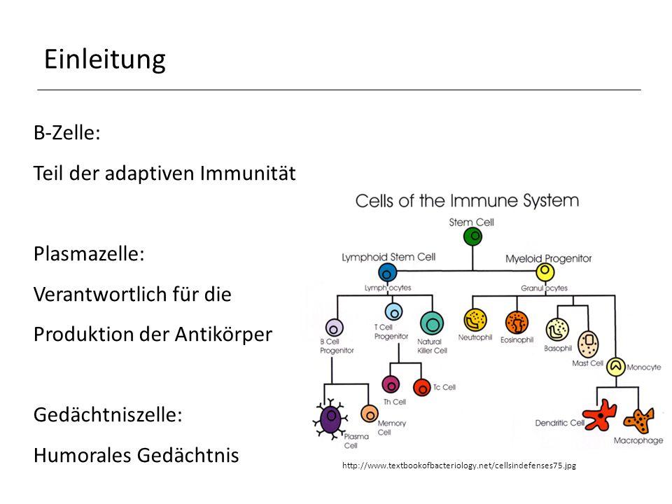 Einleitung B-Zelle: Teil der adaptiven Immunität Plasmazelle: Verantwortlich für die Produktion der Antikörper Gedächtniszelle: Humorales Gedächtnis http://www.textbookofbacteriology.net/cellsindefenses75.jpg