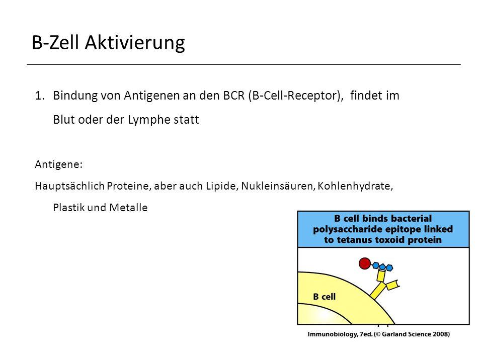 B-Zell Aktivierung 1.Bindung von Antigenen an den BCR (B-Cell-Receptor), findet im Blut oder der Lymphe statt Antigene: Hauptsächlich Proteine, aber auch Lipide, Nukleinsäuren, Kohlenhydrate, Plastik und Metalle