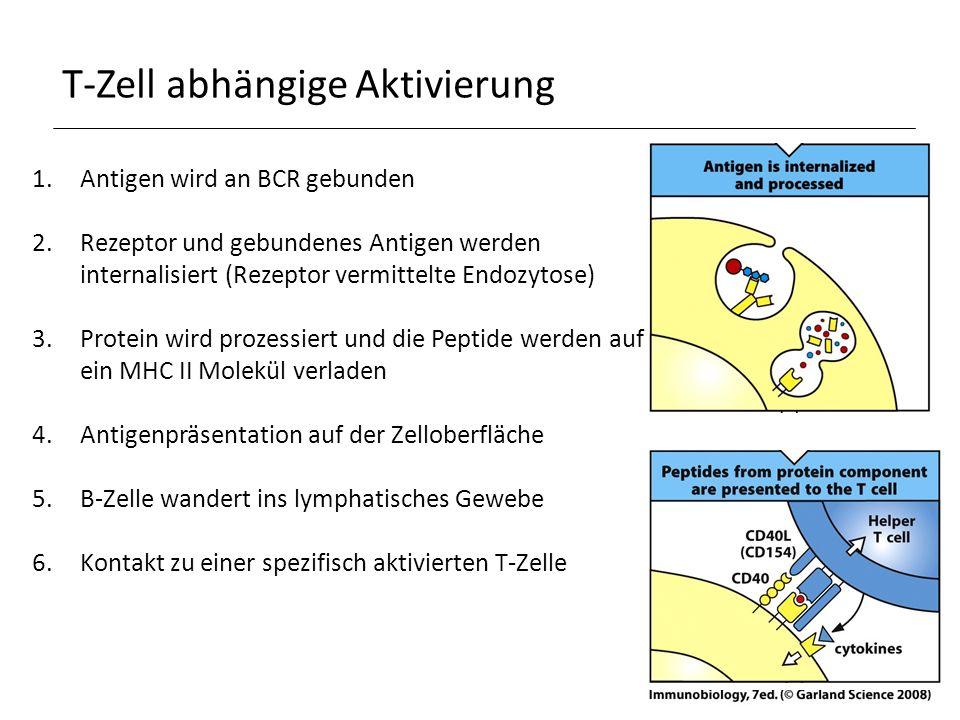 T-Zell abhängige Aktivierung 1.Antigen wird an BCR gebunden 2.Rezeptor und gebundenes Antigen werden internalisiert (Rezeptor vermittelte Endozytose) 3.Protein wird prozessiert und die Peptide werden auf ein MHC II Molekül verladen 4.Antigenpräsentation auf der Zelloberfläche 5.B-Zelle wandert ins lymphatisches Gewebe 6.Kontakt zu einer spezifisch aktivierten T-Zelle