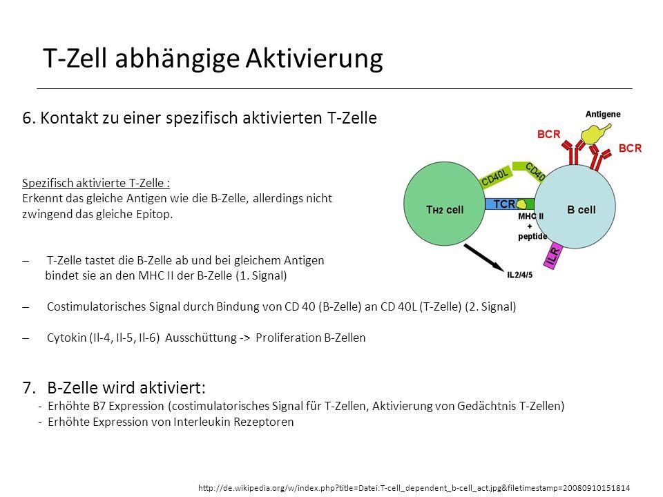 T-Zell abhängige Aktivierung 8.Klonale Expansion (Proliferation), somatische Hypermutation und Klassenwechsel der B-Zellen 9.Es enstehen langlebige Plasmazellen (Ak Sezernierung) und Gedächtniszellen Konzepte der Immunologie, Hans-Martin Jäck