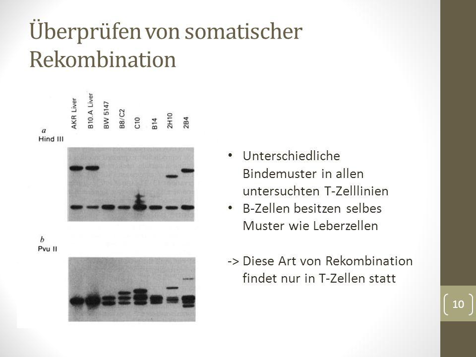 Screening von Thymozyten mit TM86 für weitere gleichartige Klone 86T1, 86T3 und 86T5 Sequenzierung der Thymusklone zeigt Genstruktur mit variablen und konstanten Bereich Starke Ähnlichkeit zu Immunglobulinen Variable, Konstante und Joining Regionen Strukturanalyse zeigt Transmembran Abschnitt Sequenzierung des Gens 11