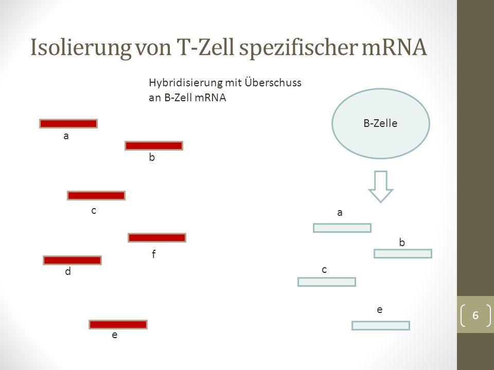 Trennung von Einzel- und Doppelsträngen per Hydroxyapatit Säule Weitere Eingrenzung durch Hybridisierung mit ähnlich hergestellter T-Zell cDNA Probe cDNA Fragmente wie d und f mögliche Kandidaten für T- Zell Rezeptor Einklonieren der cDNA in Plasmide -> etwa 30 TM Klone Isolierung von T-Zell spezifischer mRNA 7 d f d