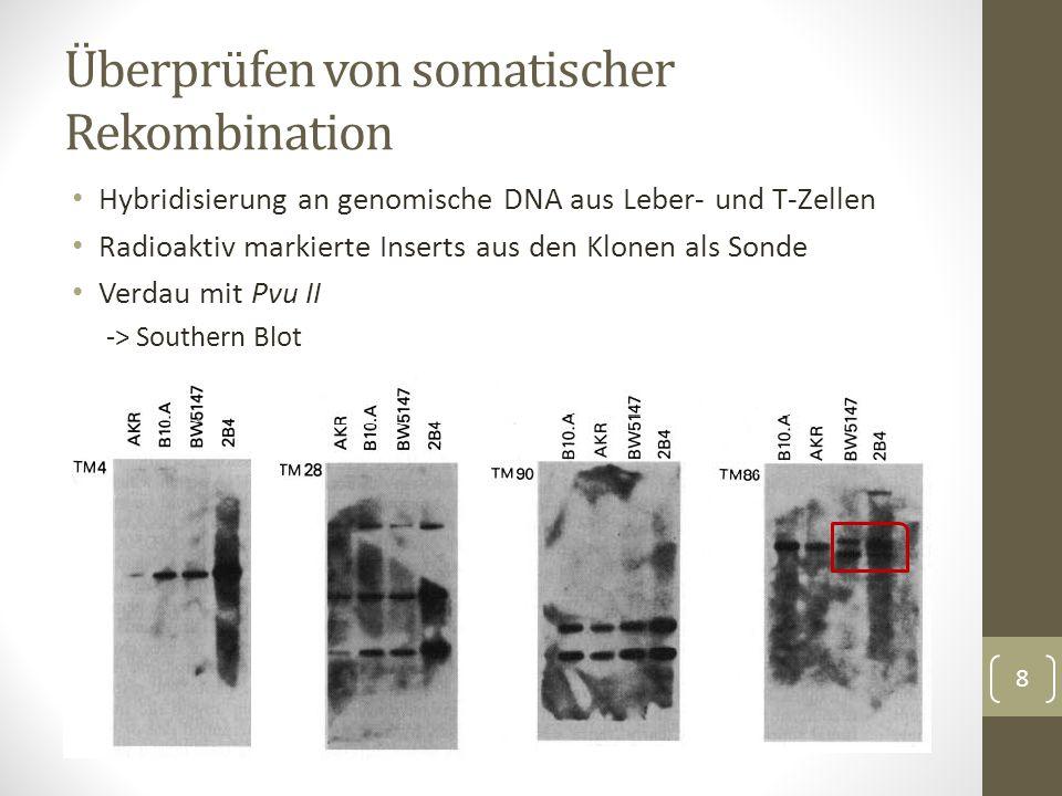 Insert aus TM86 besitzt anderes Muster Somatische Rekombination findet statt Annahme: Rekombination des Rezeptorgens unterscheidet sich bei T- Zellen unterschiedlicher Antigenspezifität Überprüfung durch Hybridisierung mit Insert von TM86 Überprüfen von somatischer Rekombination 9