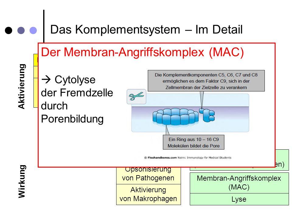 Das Komplementsystem – Im Detail Klassischer Weg Alternativer Weg Spontane Hydrolyse C4a, C3a, C5a (Anaphylatoxine) C3b Opsonisierung von Pathogenen Aktivierung von Makrophagen C5b, C6, C7, C8, C9 (Terminale C-Komponenten) Antikörper C1q, C1r, C1s C4 C2 Lektin Weg Mannose-Binding-Lectin (MBL) MBL, MASP-1, MASP-2 C4 C2 C3 B D Komplementaktivierung Entzündungs- vermittelnd Anlocken von Phagozyten Membran-Angriffskomplex (MAC) Lyse Aktivierung Wirkung Anaphylatoxine oFrühe Entzündungsmediatoren oDirekte entzündungserregende Wirkungen: oSteigerung der Durchlässigkeit der Blutkapillaren oKontraktion glatter Muskulatur Verlangsamung der Zirkulation Voraussetzung zur Rekrutierung von Leukoplasten (= chemotaktische Wirkung)