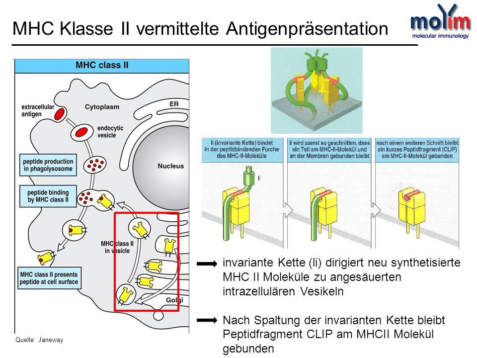 invariante Kette (li) dirigiert neu synthetisierte MHC II Moleküle zu angesäuerten intrazellulären Vesikeln Nach Spaltung der invarianten Kette bleibt