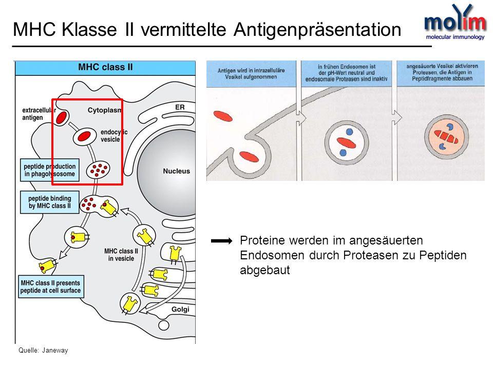invariante Kette (li) dirigiert neu synthetisierte MHC II Moleküle zu angesäuerten intrazellulären Vesikeln Nach Spaltung der invarianten Kette bleibt Peptidfragment CLIP am MHCII Molekül gebunden MHC Klasse II vermittelte Antigenpräsentation Quelle: Janeway