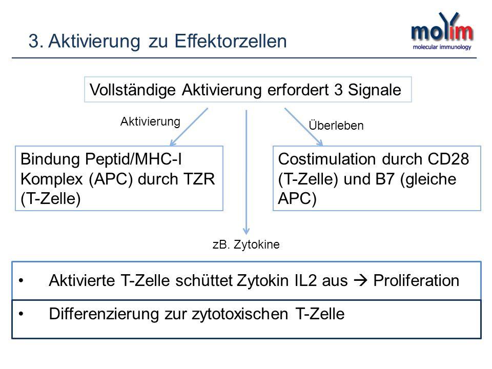 3. Aktivierung zu Effektorzellen Vollständige Aktivierung erfordert 3 Signale Bindung Peptid/MHC-I Komplex (APC) durch TZR (T-Zelle) Costimulation dur