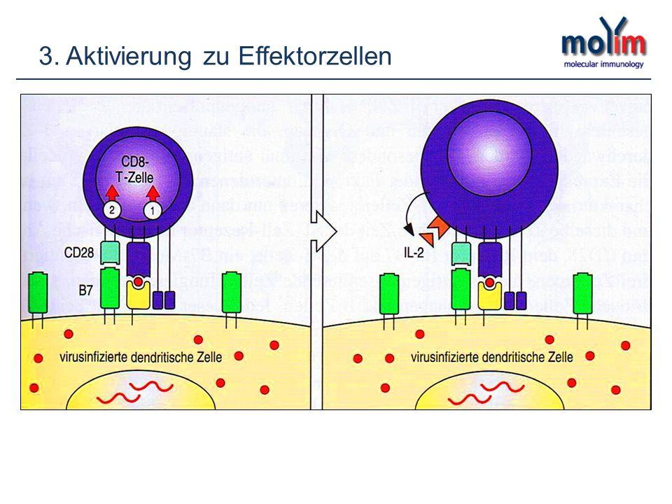 3. Aktivierung zu Effektorzellen