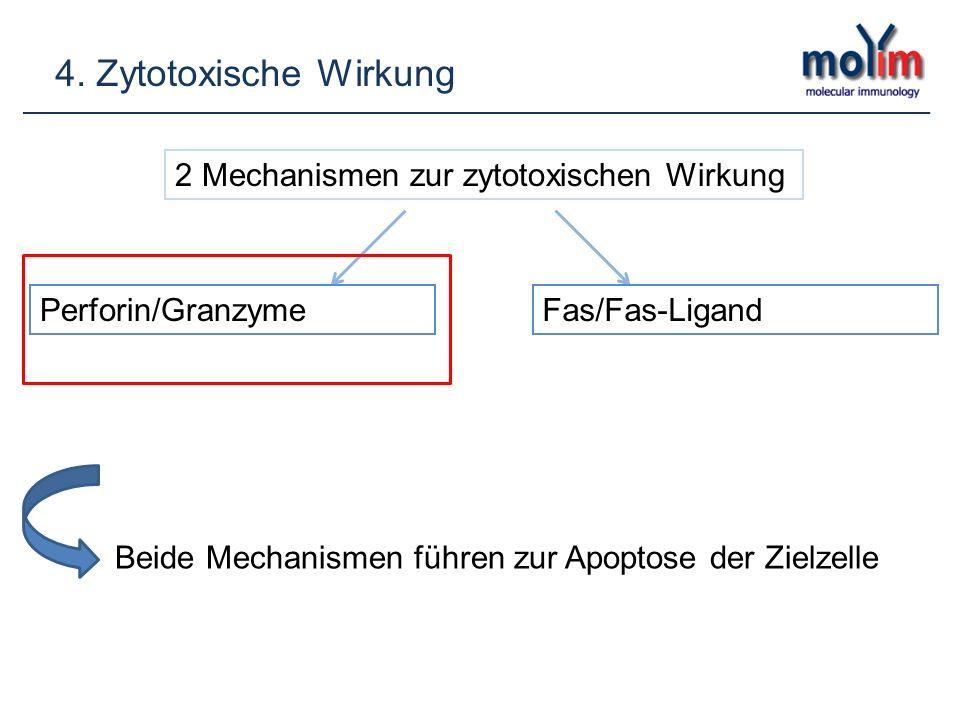 4. Zytotoxische Wirkung 2 Mechanismen zur zytotoxischen Wirkung Perforin/GranzymeFas/Fas-Ligand Beide Mechanismen führen zur Apoptose der Zielzelle