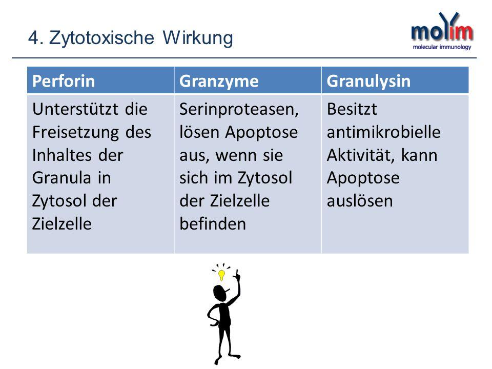 PerforinGranzymeGranulysin Unterstützt die Freisetzung des Inhaltes der Granula in Zytosol der Zielzelle Serinproteasen, lösen Apoptose aus, wenn sie