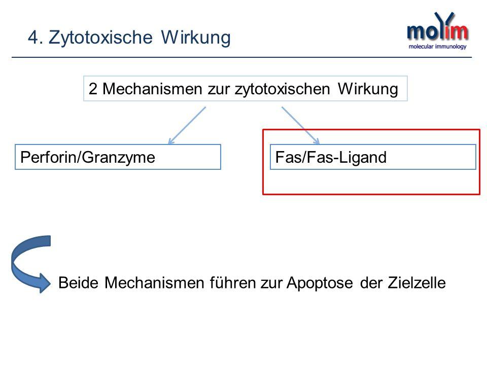 2 Mechanismen zur zytotoxischen Wirkung Perforin/GranzymeFas/Fas-Ligand Beide Mechanismen führen zur Apoptose der Zielzelle
