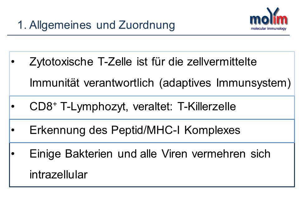 Zytotoxische T-Zelle ist für die zellvermittelte Immunität verantwortlich (adaptives Immunsystem) CD8 + T-Lymphozyt, veraltet: T-Killerzelle Erkennung