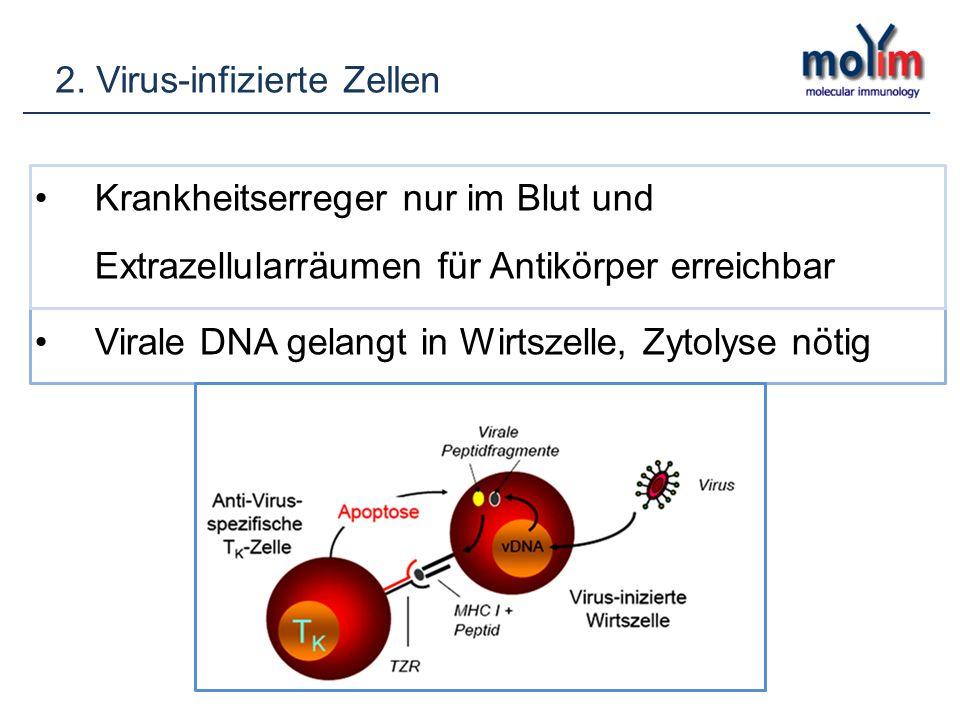 2. Virus-infizierte Zellen Krankheitserreger nur im Blut und Extrazellularräumen für Antikörper erreichbar Virale DNA gelangt in Wirtszelle, Zytolyse
