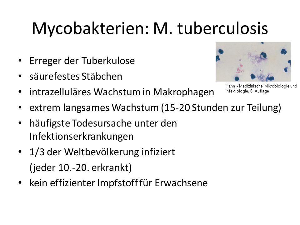 Mycobakterien: M. tuberculosis Erreger der Tuberkulose säurefestes Stäbchen intrazelluläres Wachstum in Makrophagen extrem langsames Wachstum (15-20 S