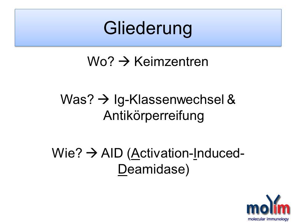 Gliederung Wo? Keimzentren Was? Ig-Klassenwechsel & Antikörperreifung Wie? AID (Activation-Induced- Deamidase)