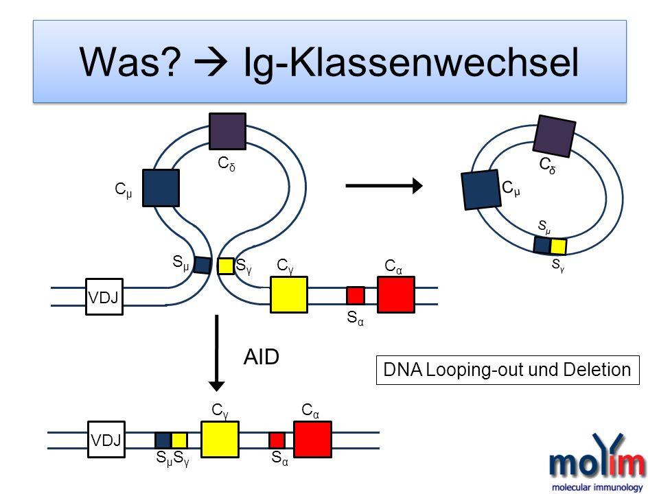 Was? Ig-Klassenwechsel VDJ CγCγ CαCα SµSµ SγSγ SαSα CγCγ CαCα SαSα SµSµ SγSγ CµCµ CδCδ CµCµ CδCδ SµSµ SγSγ DNA Looping-out und Deletion AID