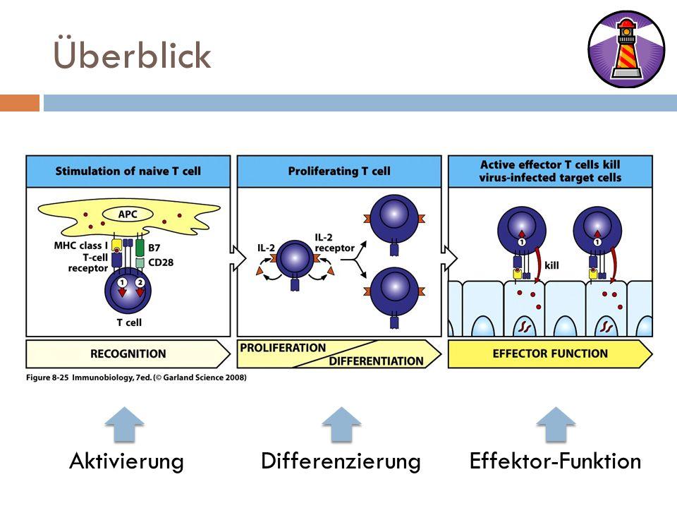 Überblick AktivierungDifferenzierungEffektor-Funktion
