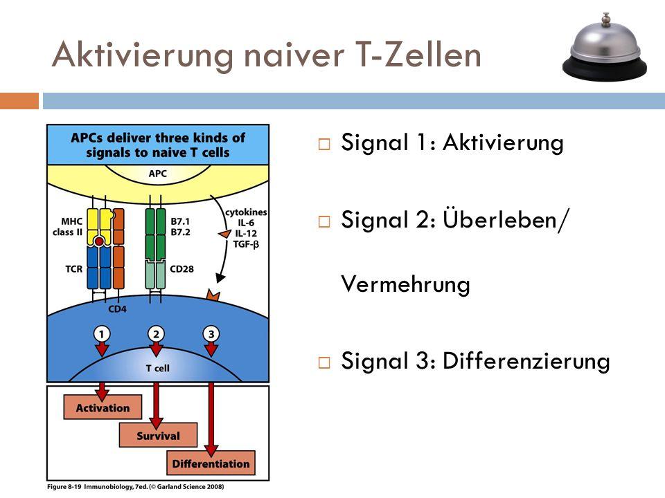 Signal 1: Aktivierung Signal 2: Überleben/ Vermehrung Signal 3: Differenzierung