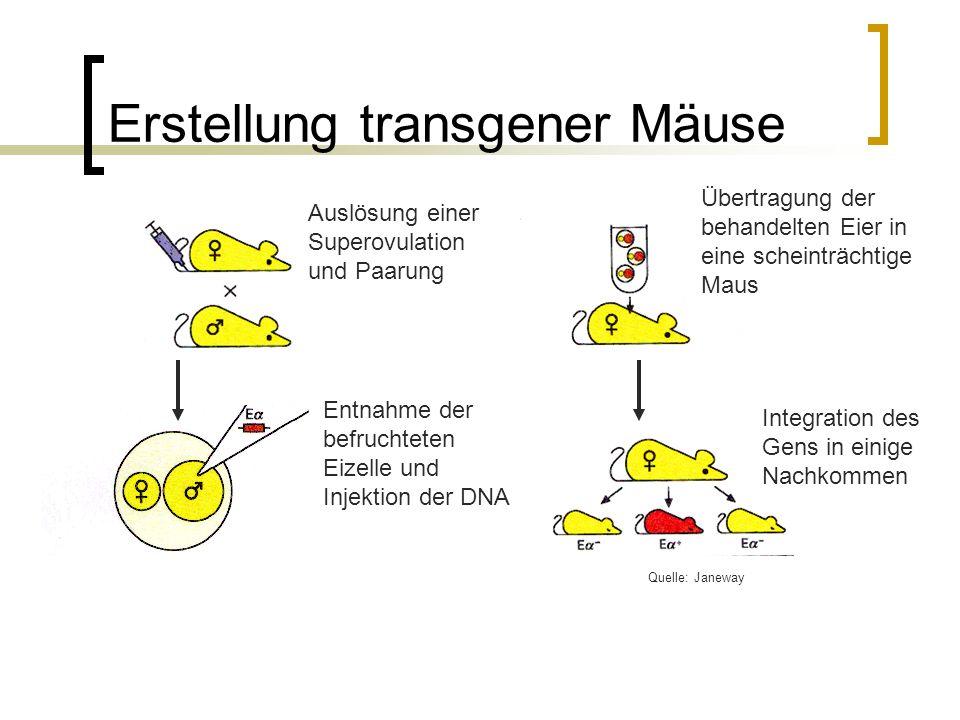 Erstellung transgener Mäuse Auslösung einer Superovulation und Paarung Entnahme der befruchteten Eizelle und Injektion der DNA Übertragung der behandelten Eier in eine scheinträchtige Maus Integration des Gens in einige Nachkommen Quelle: Janeway