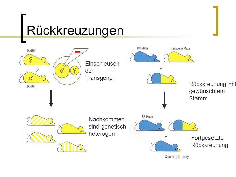 Rückkreuzungen Einschleusen der Transgene Nachkommen sind genetisch heterogen Rückkreuzung mit gewünschtem Stamm Fortgesetzte Rückkreuzung Quelle: Jan