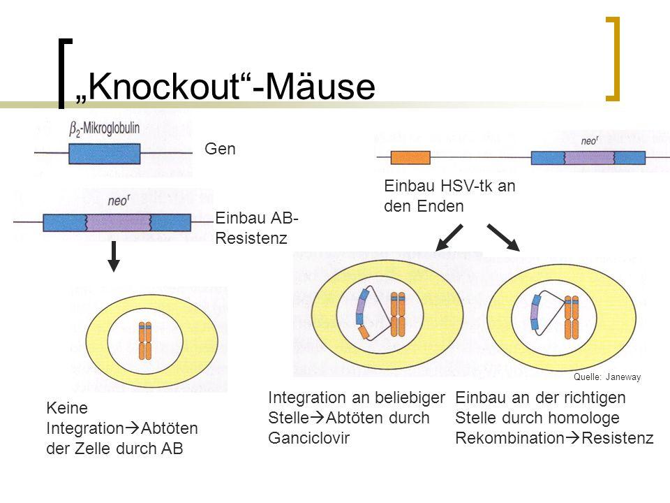 Knockout-Mäuse Gen Einbau AB- Resistenz Keine Integration Abtöten der Zelle durch AB Einbau HSV-tk an den Enden Integration an beliebiger Stelle Abtöten durch Ganciclovir Einbau an der richtigen Stelle durch homologe Rekombination Resistenz Quelle: Janeway
