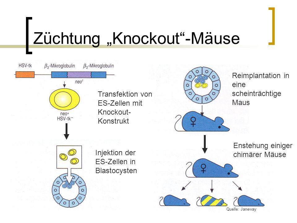 Züchtung Knockout-Mäuse Transfektion von ES-Zellen mit Knockout- Konstrukt Injektion der ES-Zellen in Blastocysten Reimplantation in eine scheinträchtige Maus Enstehung einiger chimärer Mäuse Quelle: Janeway