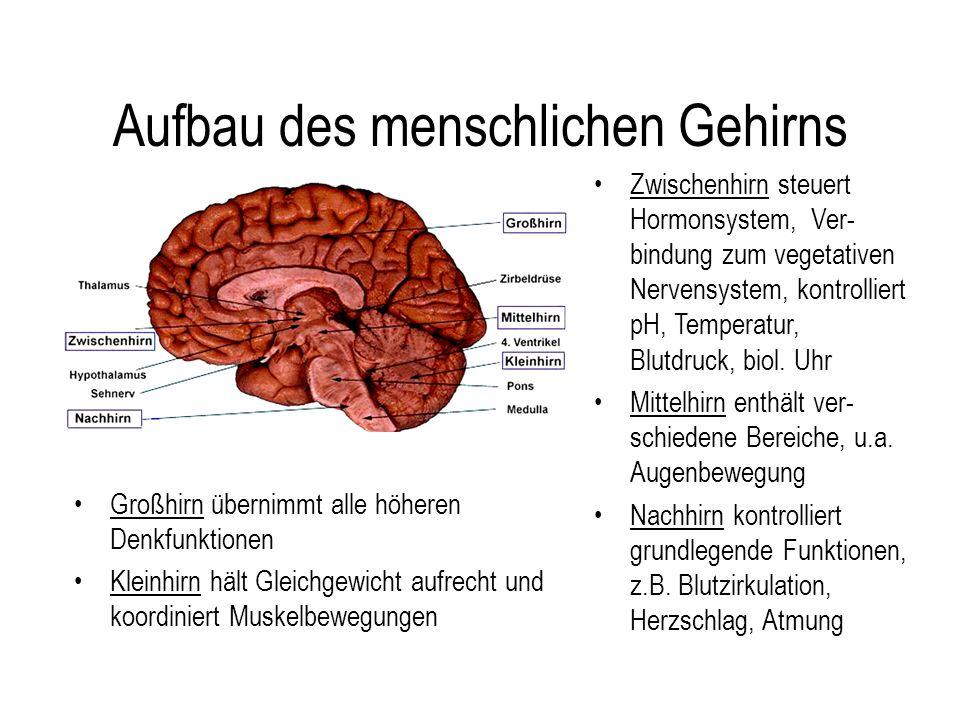 Aufbau des menschlichen Gehirns Großhirn übernimmt alle höheren Denkfunktionen Kleinhirn hält Gleichgewicht aufrecht und koordiniert Muskelbewegungen Zwischenhirn steuert Hormonsystem, Ver- bindung zum vegetativen Nervensystem, kontrolliert pH, Temperatur, Blutdruck, biol.