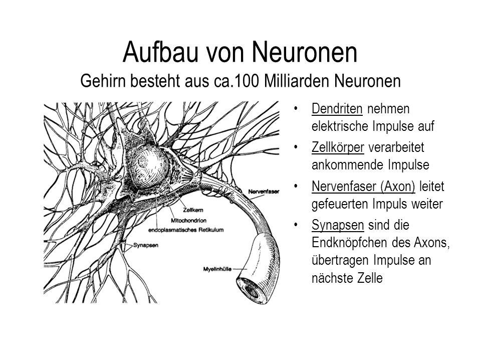 Aufbau von Neuronen Gehirn besteht aus ca.100 Milliarden Neuronen Dendriten nehmen elektrische Impulse auf Zellkörper verarbeitet ankommende Impulse Nervenfaser (Axon) leitet gefeuerten Impuls weiter Synapsen sind die Endknöpfchen des Axons, übertragen Impulse an nächste Zelle