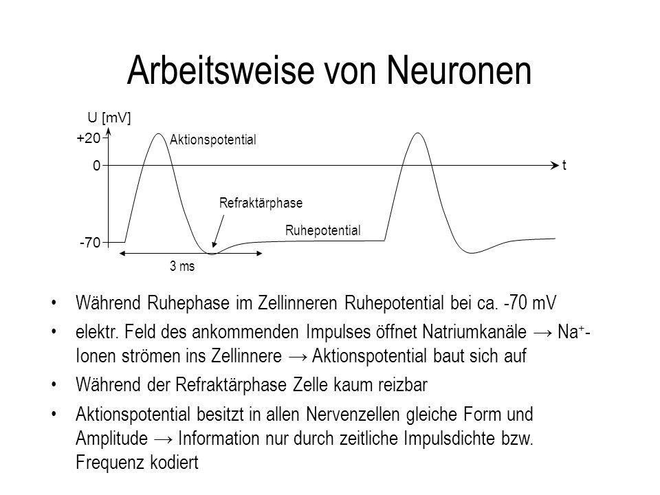 Arbeitsweise von Neuronen +20 -70 0 t U [mV] Ruhepotential Aktionspotential 3 ms Refraktärphase Während Ruhephase im Zellinneren Ruhepotential bei ca.