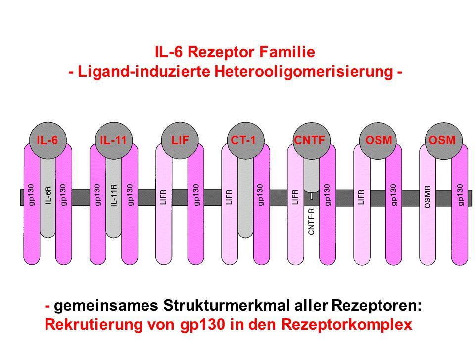 IL-6IL-11LIFCT-1CNTFOSM IL-6 Rezeptor Familie - Ligand-induzierte Heterooligomerisierung - - gemeinsames Strukturmerkmal aller Rezeptoren: Rekrutierun