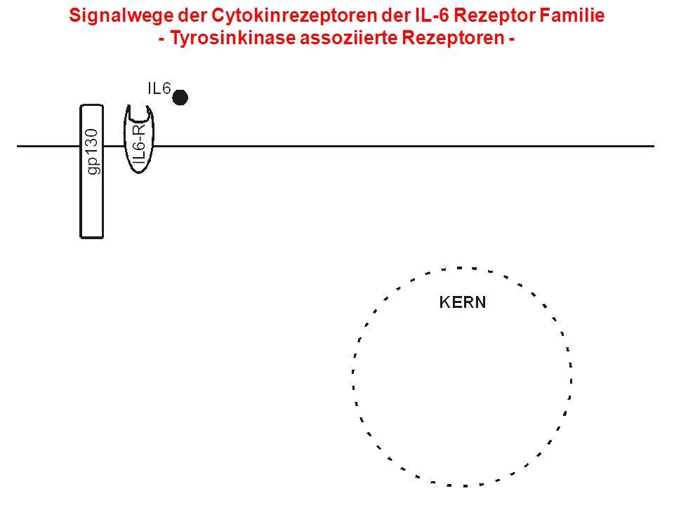 Signalwege der Cytokinrezeptoren der IL-6 Rezeptor Familie - Tyrosinkinase assoziierte Rezeptoren -