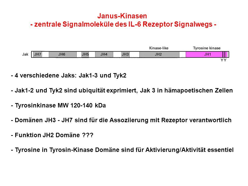 Janus-Kinasen - zentrale Signalmoleküle des IL-6 Rezeptor Signalwegs - - 4 verschiedene Jaks: Jak1-3 und Tyk2 - Jak1-2 und Tyk2 sind ubiquität exprimi
