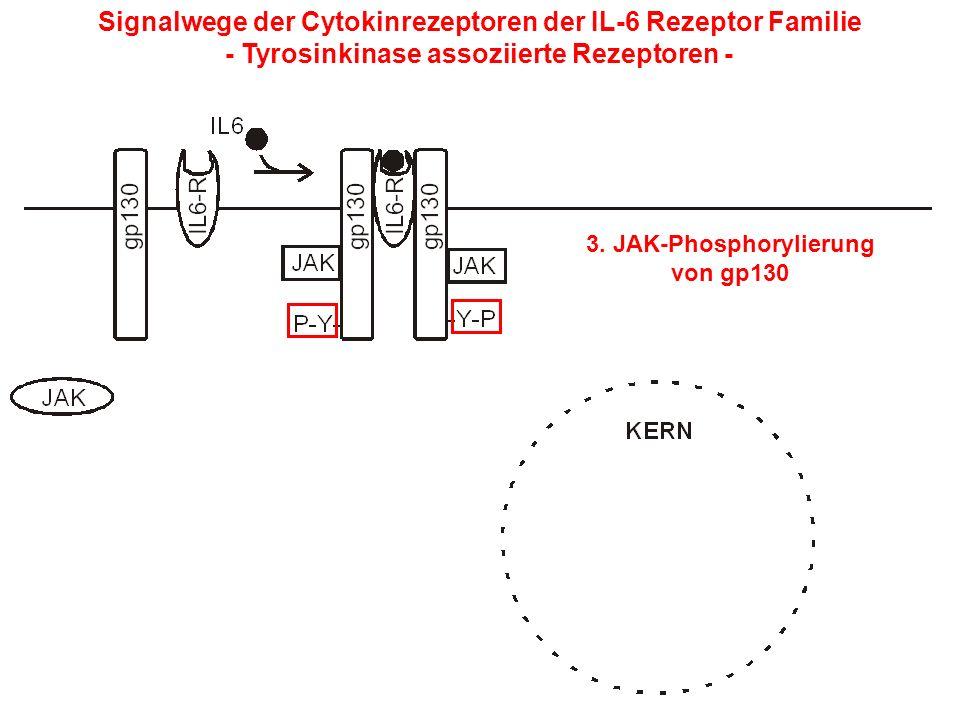 Signalwege der Cytokinrezeptoren der IL-6 Rezeptor Familie - Tyrosinkinase assoziierte Rezeptoren - 3. JAK-Phosphorylierung von gp130