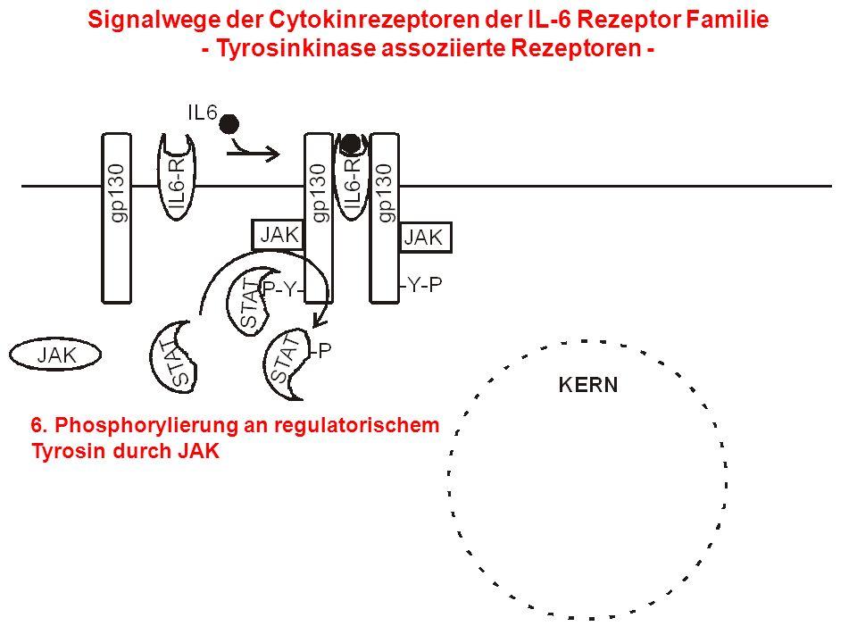 Signalwege der Cytokinrezeptoren der IL-6 Rezeptor Familie - Tyrosinkinase assoziierte Rezeptoren - 6. Phosphorylierung an regulatorischem Tyrosin dur
