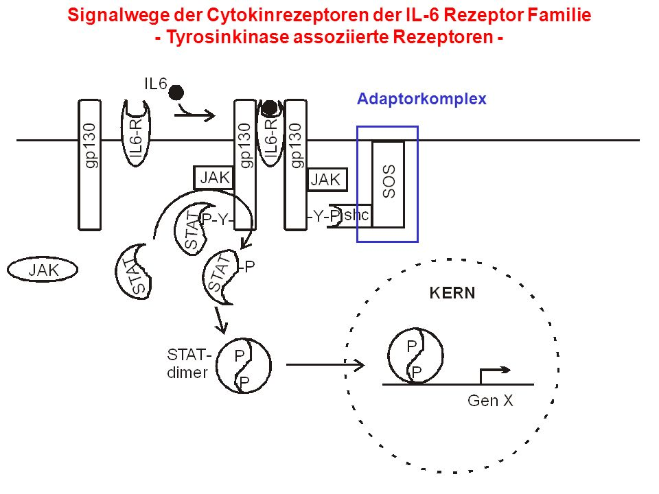Signalwege der Cytokinrezeptoren der IL-6 Rezeptor Familie - Tyrosinkinase assoziierte Rezeptoren - Adaptorkomplex