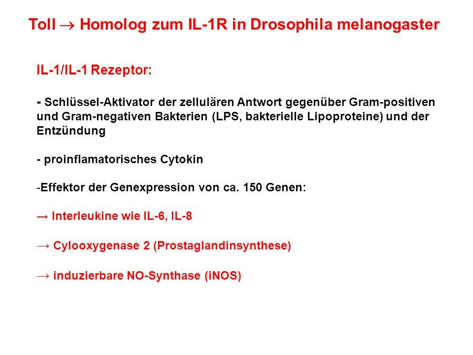 Toll Homolog zum IL-1R in Drosophila melanogaster IL-1/IL-1 Rezeptor: - Schlüssel-Aktivator der zellulären Antwort gegenüber Gram-positiven und Gram-n