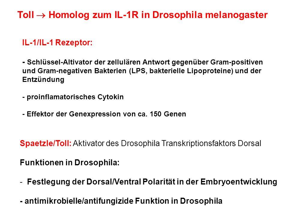 Toll Homolog zum IL-1R in Drosophila melanogaster Spaetzle/Toll: Aktivator des Drosophila Transkriptionsfaktors Dorsal Funktionen in Drosophila: - Fes