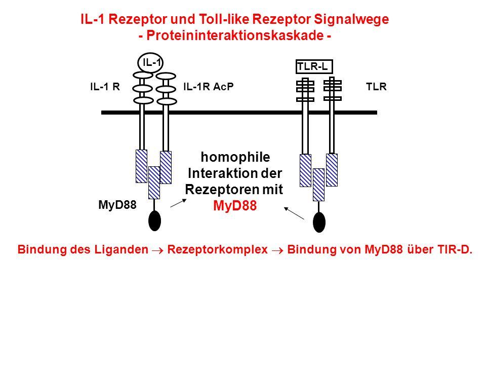 IL-1 Rezeptor und Toll-like Rezeptor Signalwege - Proteininteraktionskaskade - IL-1 TLR-L homophile Interaktion der Rezeptoren mit MyD88 IL-1 RIL-1R A