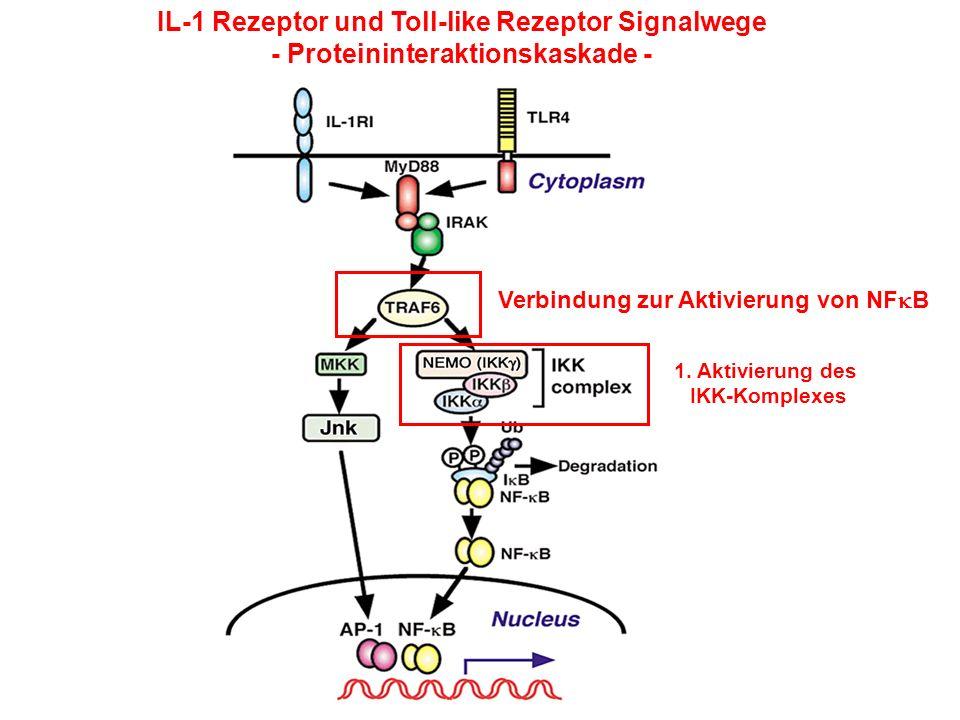 IL-1 Rezeptor und Toll-like Rezeptor Signalwege - Proteininteraktionskaskade - 1. Aktivierung des IKK-Komplexes Verbindung zur Aktivierung von NF B