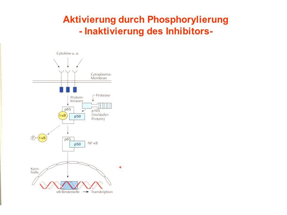Aktivierung durch Phosphorylierung - Inaktivierung des Inhibitors-